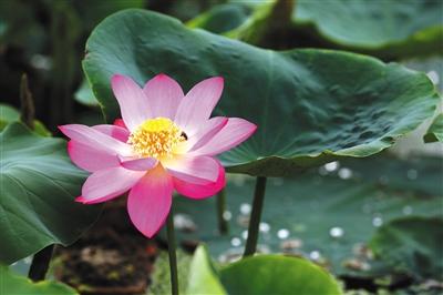 昨日,圆明园考古发现的古莲子,开出第一朵花。本版供图/圆明园
