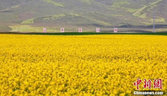 甘肃河西走廊中部祁连山下的山丹马场正是油菜花盛开的季节。(王超 摄)