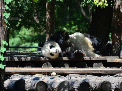北京夏天太热 大熊猫出来散心萌翻网友!