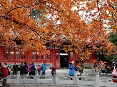 北京:香山公园进入红叶最佳观赏期 游客雨中观景兴致盎然