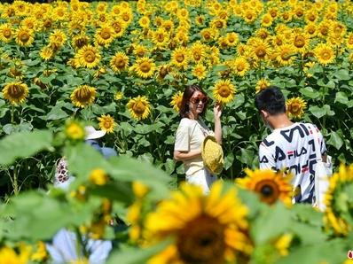 北京奥森公园向日葵盛放引市民