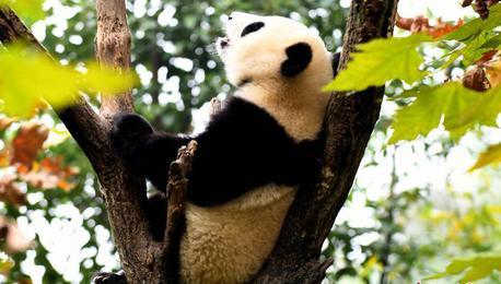 柔软的胖子 大熊猫倒挂卖萌