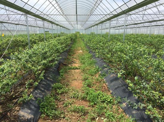曲靖佳沃蓝莓种植基地