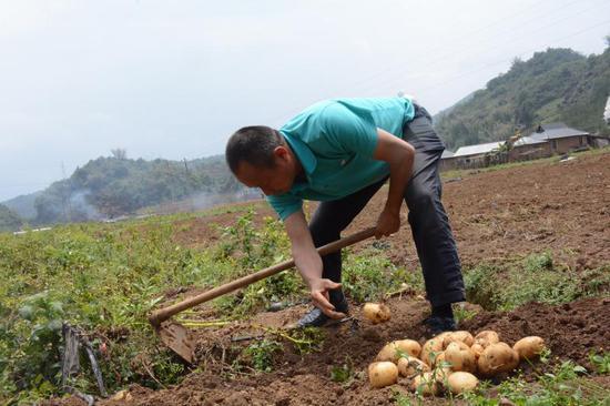 澜沧县冬季马铃薯示范基地种植的马铃薯获得丰收