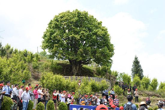 树龄长达3200多年的锦秀茶王