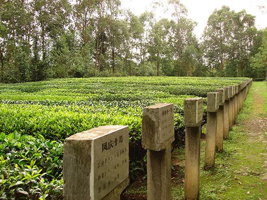 滇红集团茶科院品种园