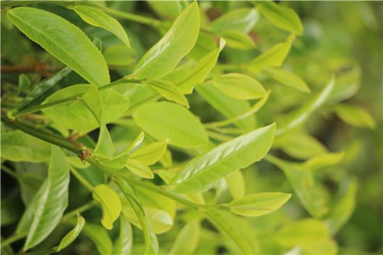 当地种植的绿色茶叶