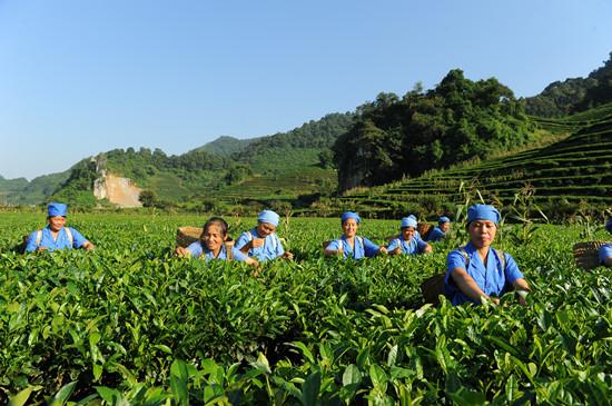 石山茶叶基地