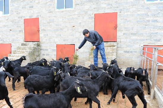 到合作社打工 学养羊技术