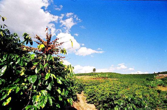 云南阿拉比卡咖啡种植基地