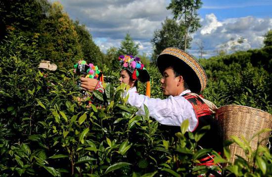 云南茶农人均来自茶产业收入2900余元,较2015年增长11.5%。