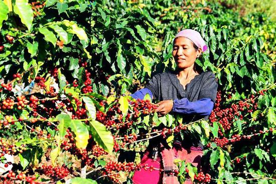 云南咖农采摘咖啡