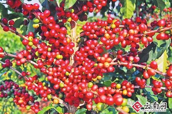 成熟的咖啡豆