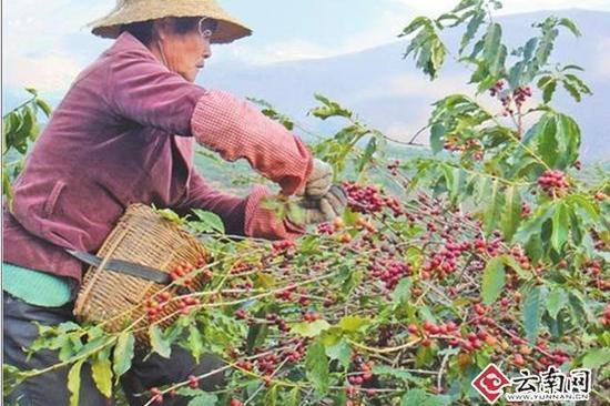 咖农在采摘咖啡
