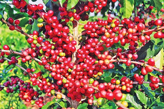 成熟的咖啡果实