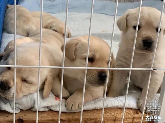 大连18只导盲犬幼犬寻找寄养家庭