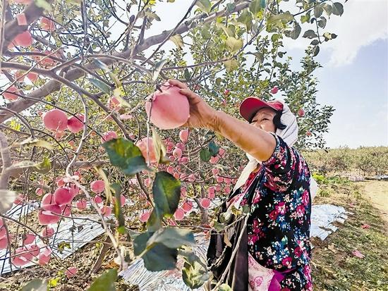 近60万亩大连苹果进入收获期