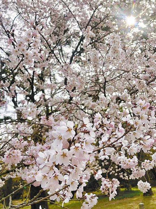 去旅顺赏樱花