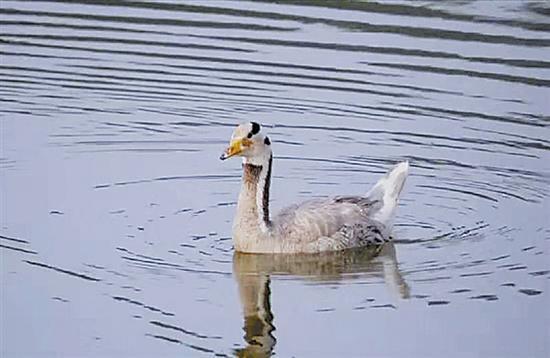 """这只斑头雁游弋于水库中,看起来比""""落地""""时丰润了不少。"""