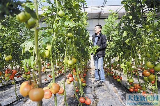 为让各类蔬菜在春节期间及时上市,在旅顺口区双?#21644;?#34903;道张家村蔬菜大棚里,种植户们几乎没舍得休息,在大棚里忙忙碌碌,期望有个好收成。 本报记者王华 摄
