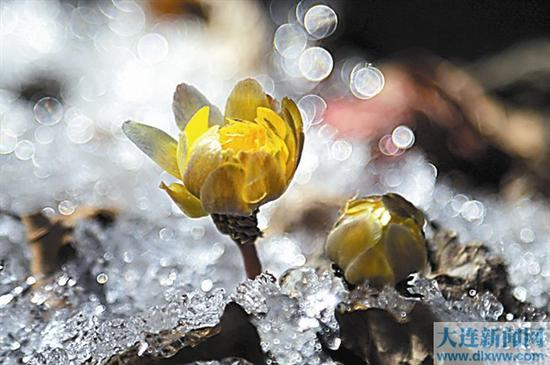 冲破冻土坚冰,只把春来报。