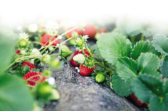 大连草莓杀回来了