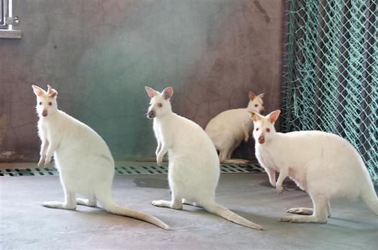 14只澳大利亚袋鼠森林动物园安新家