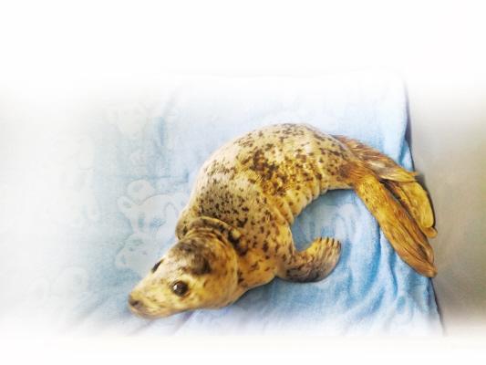 得到妥善救治的小斑海豹。
