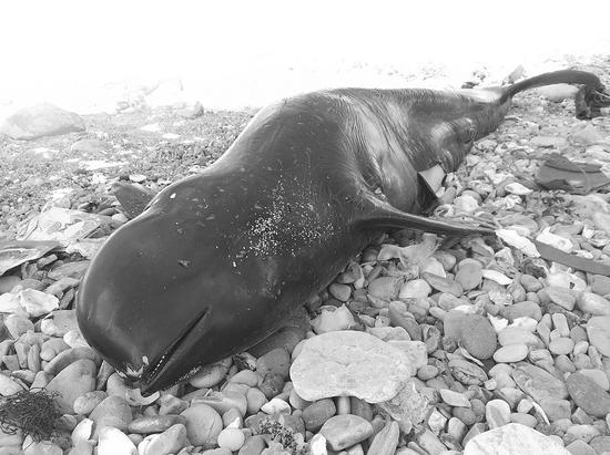 这条搁浅的江豚体长1.5米。半岛晨报、海力网摄影记者孙振芳