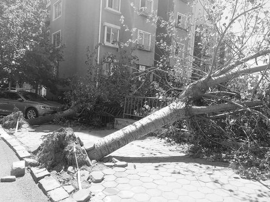 碧涛北园小区路边倒伏了不少大树,有的树根还带起了电线。