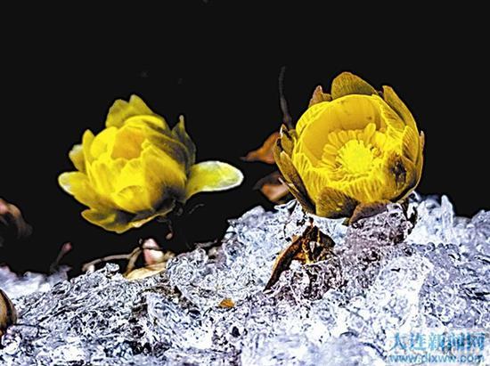 """夜幕降临时,""""冰凌花""""恋恋不舍地合上了花瓣。"""