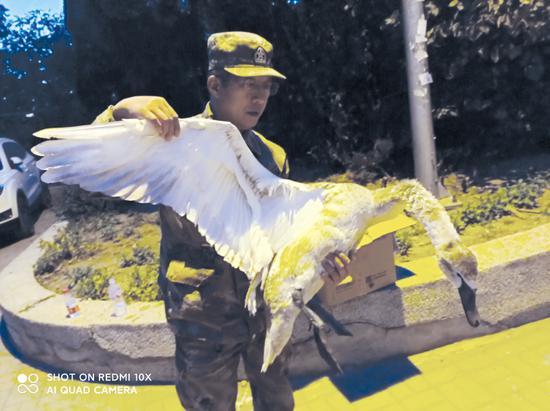 林裕嵩简单检查大天鹅是否有外伤。