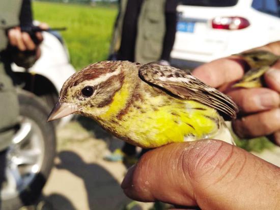 志愿者们一路拆除捕鸟网具,救下迁徙的黄胸鵐。