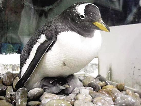 圣亚十余只小白眉企鹅成功出壳