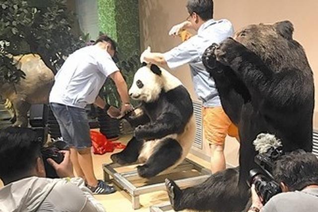 全球首只大熊猫塑化标本走进金石滩