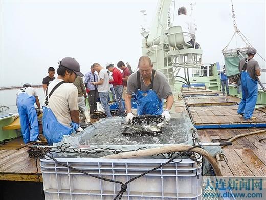 工作人员将鲜活河豚鱼从网箱装运到船上。本报记者李枝宏 摄