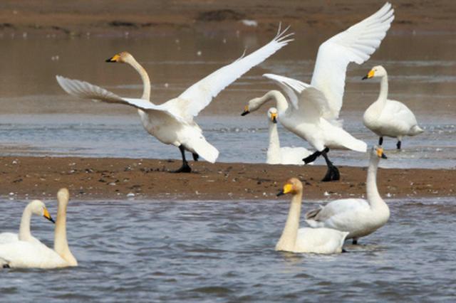 600多只大天鹅飞临大连创历年最多