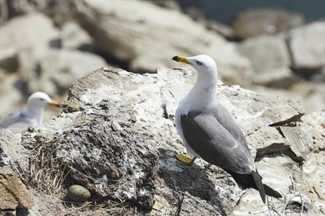 蛇岛海鸟进入孵化期
