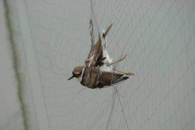 仨外地人合伙来连架网捕鸟