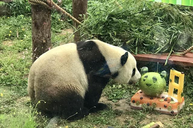 """网红大熊猫""""金虎""""8周岁生日 10万+粉丝直播送祝福"""