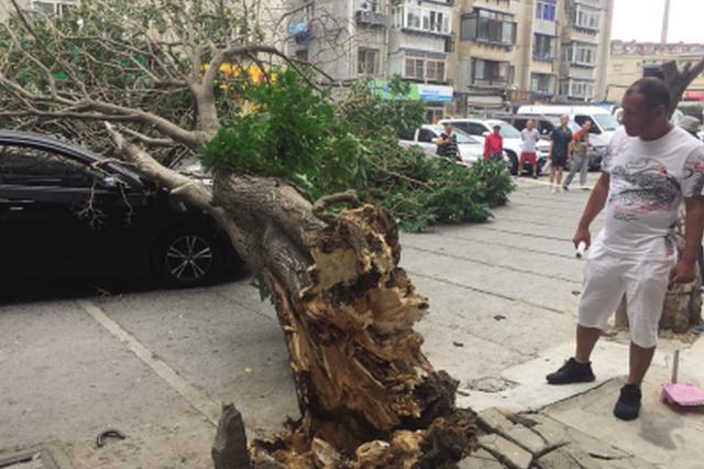 好险!6层楼高大树倒地砸中轿车