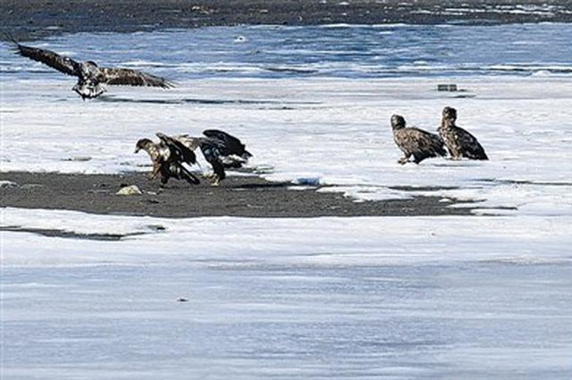大连成世界濒危鸟类白尾海雕越冬栖息地