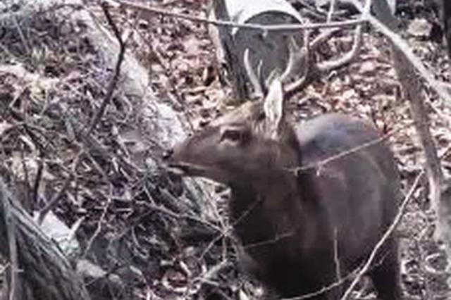 大连市区山林 又见野生的梅花鹿