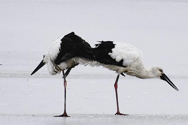 国家一级保护动物东方白鹳大连过大年