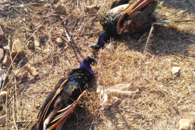 旅顺神龙仙岛海上主题公园28只孔雀死亡