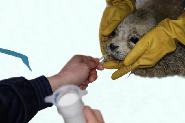 """大连圣亚海洋世界""""被救助斑海豹""""59天回家之旅"""