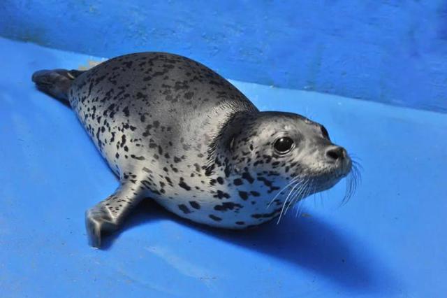 老虎滩海洋公园爱心救治 助力斑海豹重返家园
