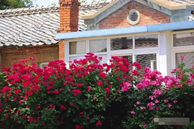 蔷薇扮靓太阳沟古街区小院