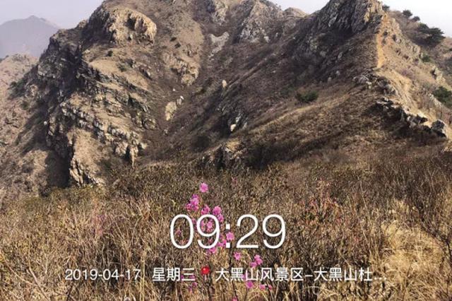 大黑山第一朵杜鹃花绽放