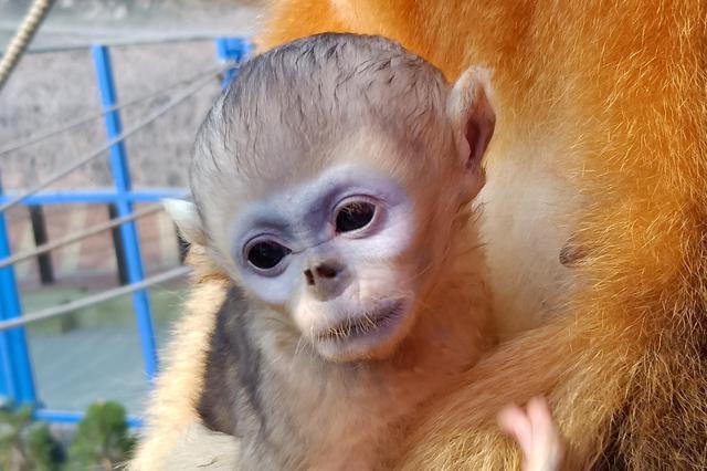 """大连森林动物园金丝猴家族再壮大 六""""小龄""""童集体卖萌"""